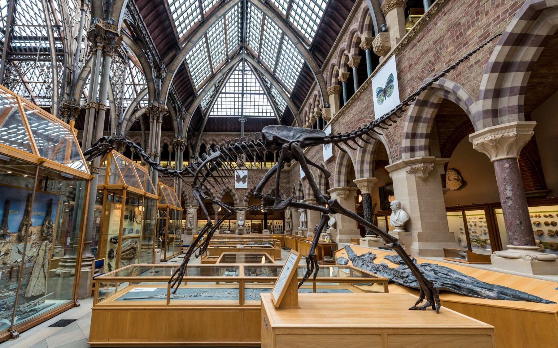A reconstructed dinosaur skeleton on display in the Oxford Museum of Natural History