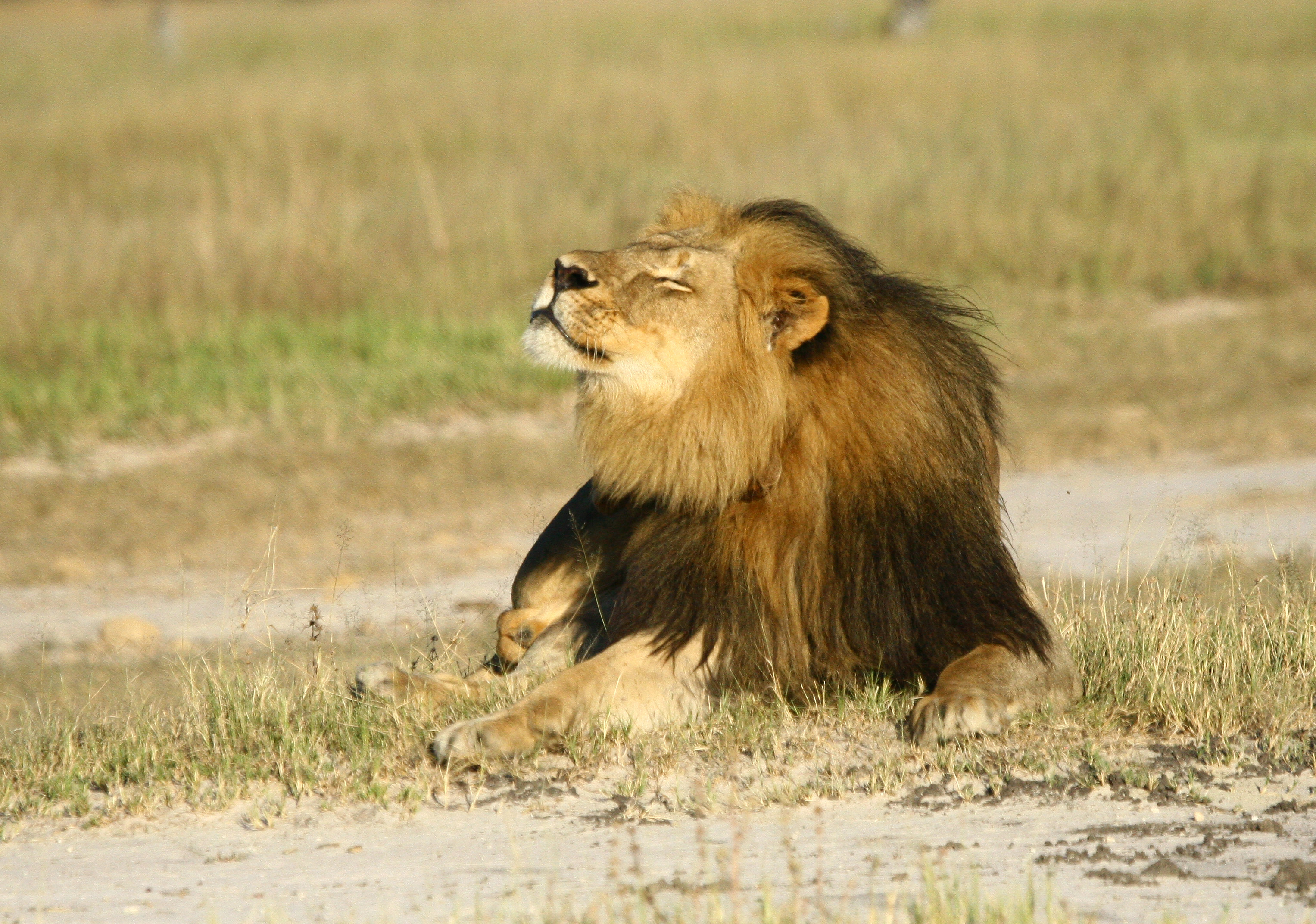 Cecil the lion's son Xanda also shot dead in Zimbabwe