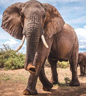 Feeling the beat through the elephant's feet