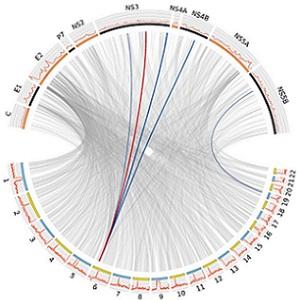 Genetic study reveals how hepatitis C interacts with humans
