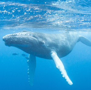 Declines in whales, fish, seabirds and animals disrupt Earth's nutrient cycle