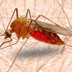 Red blood cell variation linked to natural malaria resistance