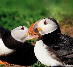 Puffins that stay close to their partner during migration have more chicks