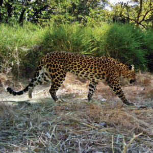 New study confirms Cambodia's last leopards on brink of extinction