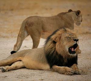 African lions face same threats as extinct Ice Age ancestors