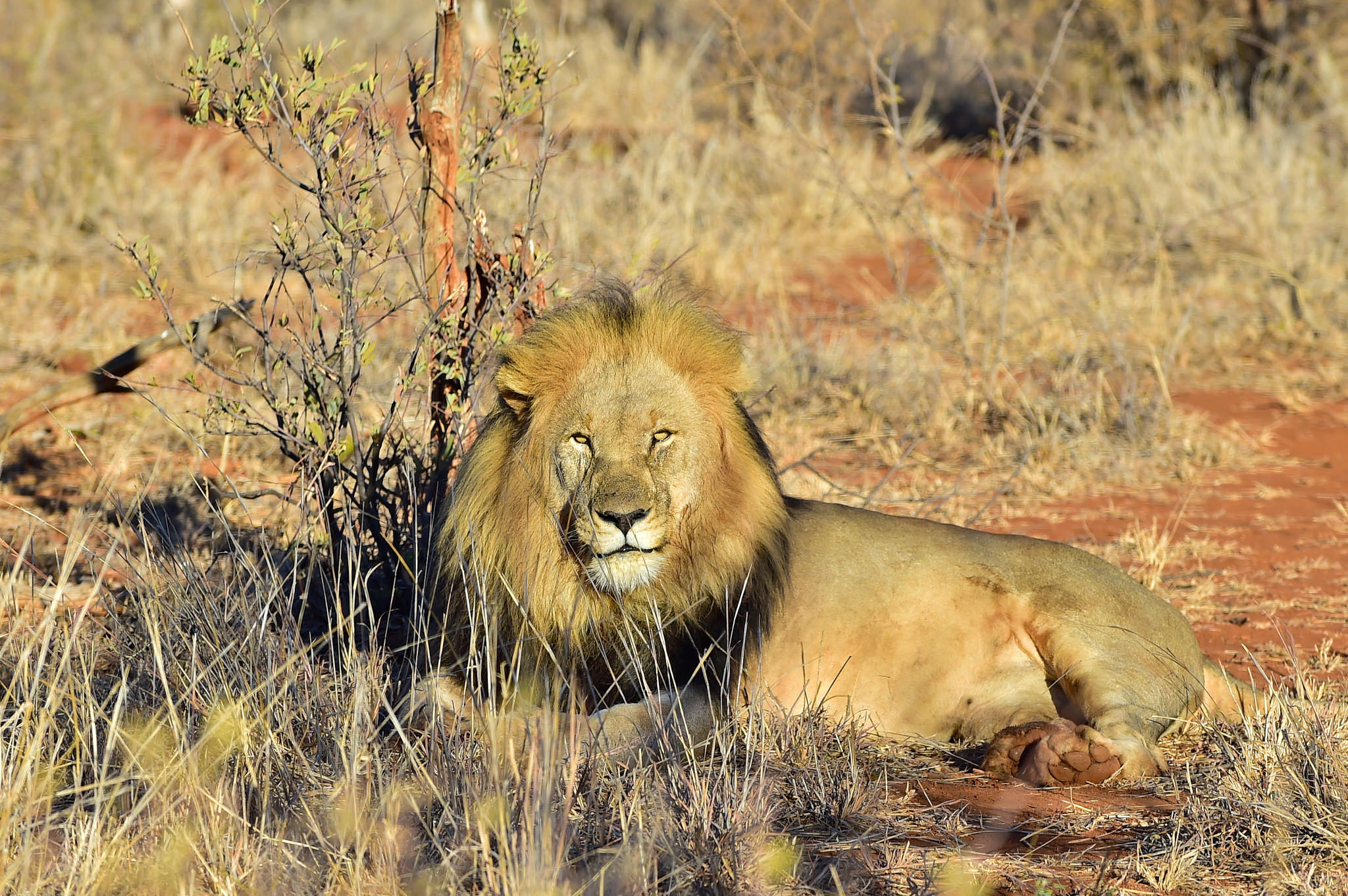 New study suggests half of lion populations will be lost in key regions of Africa