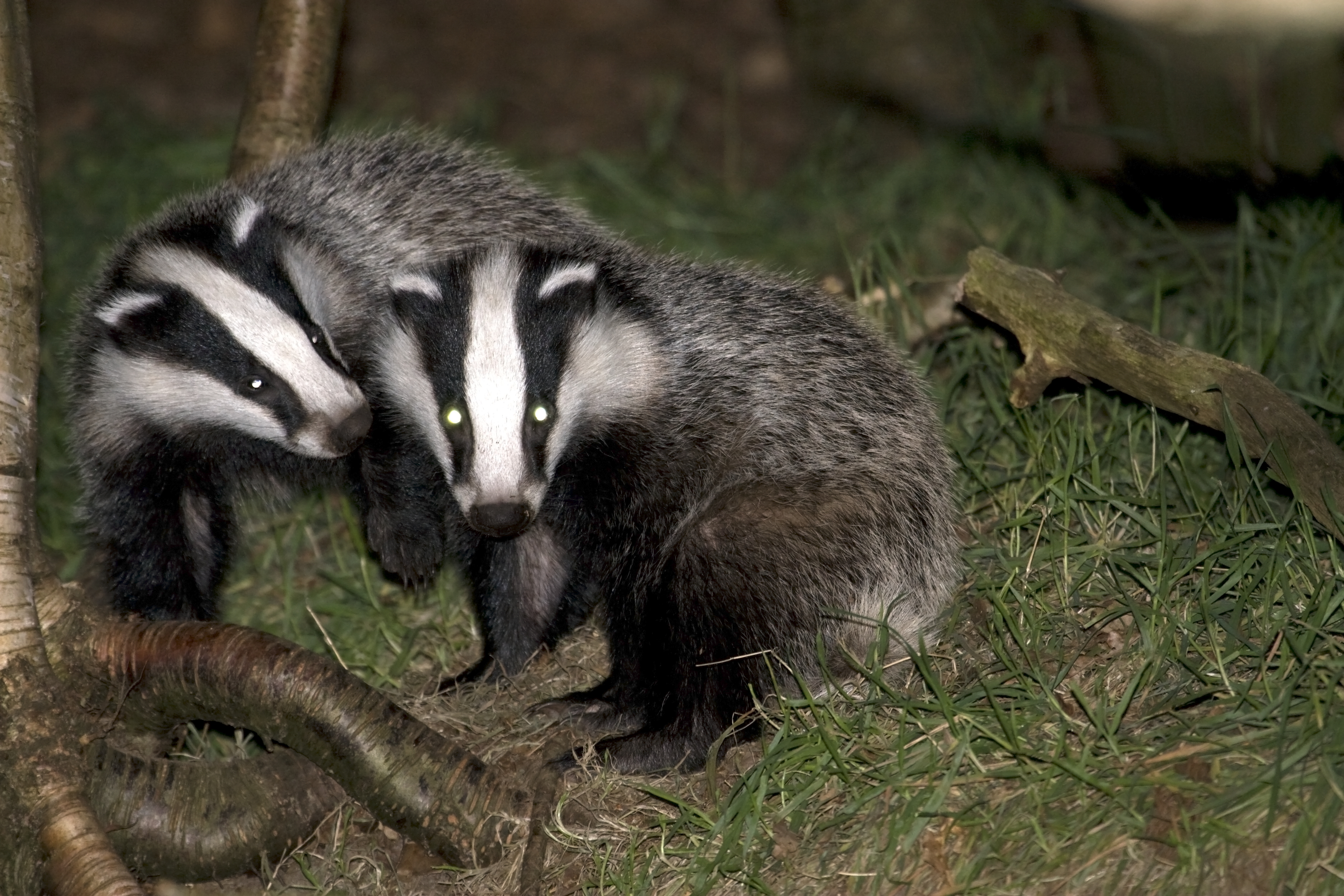 New light on the secret life of badgers