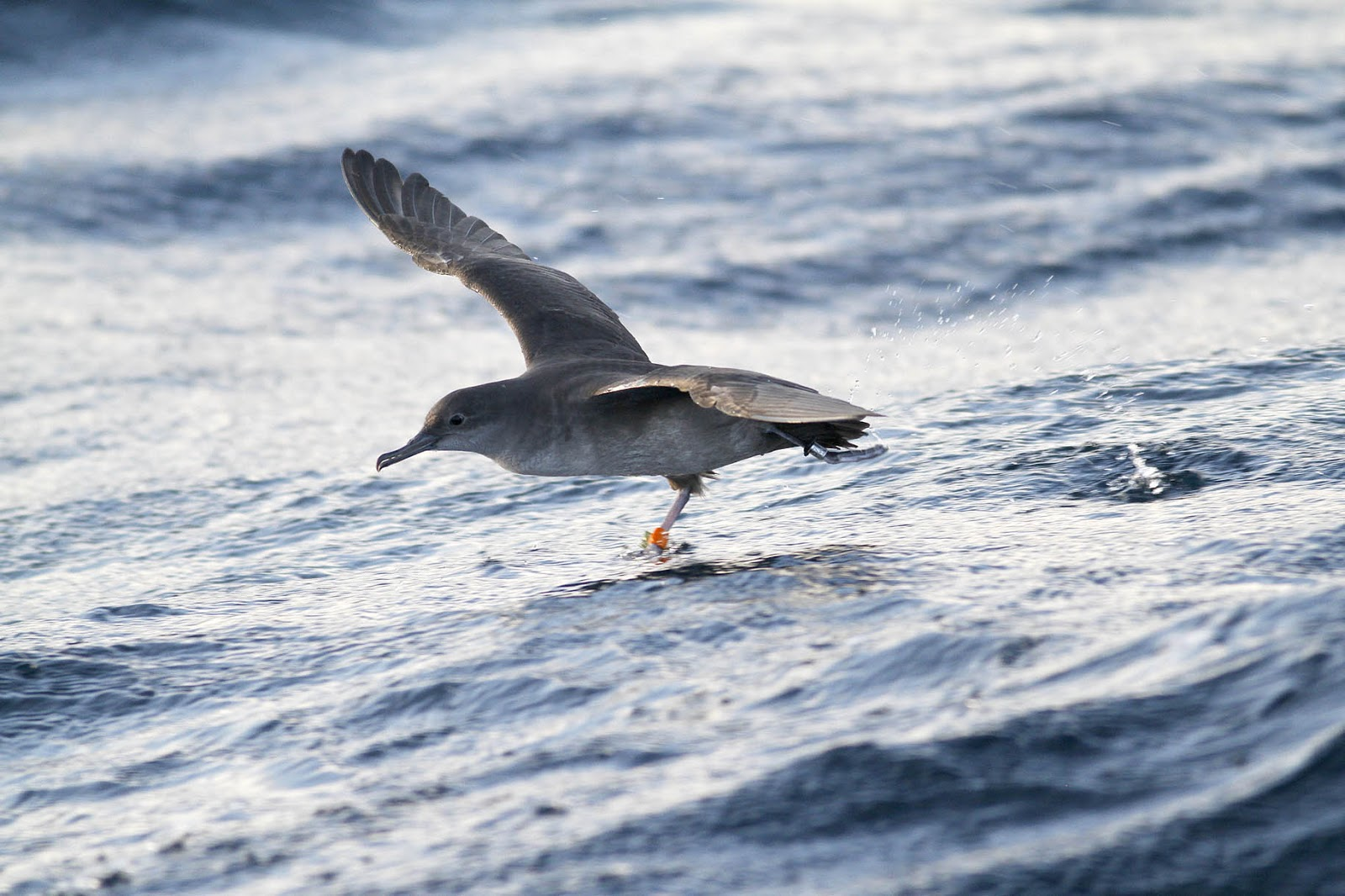 Europe's rarest seabird 'could be extinct within 60 years'