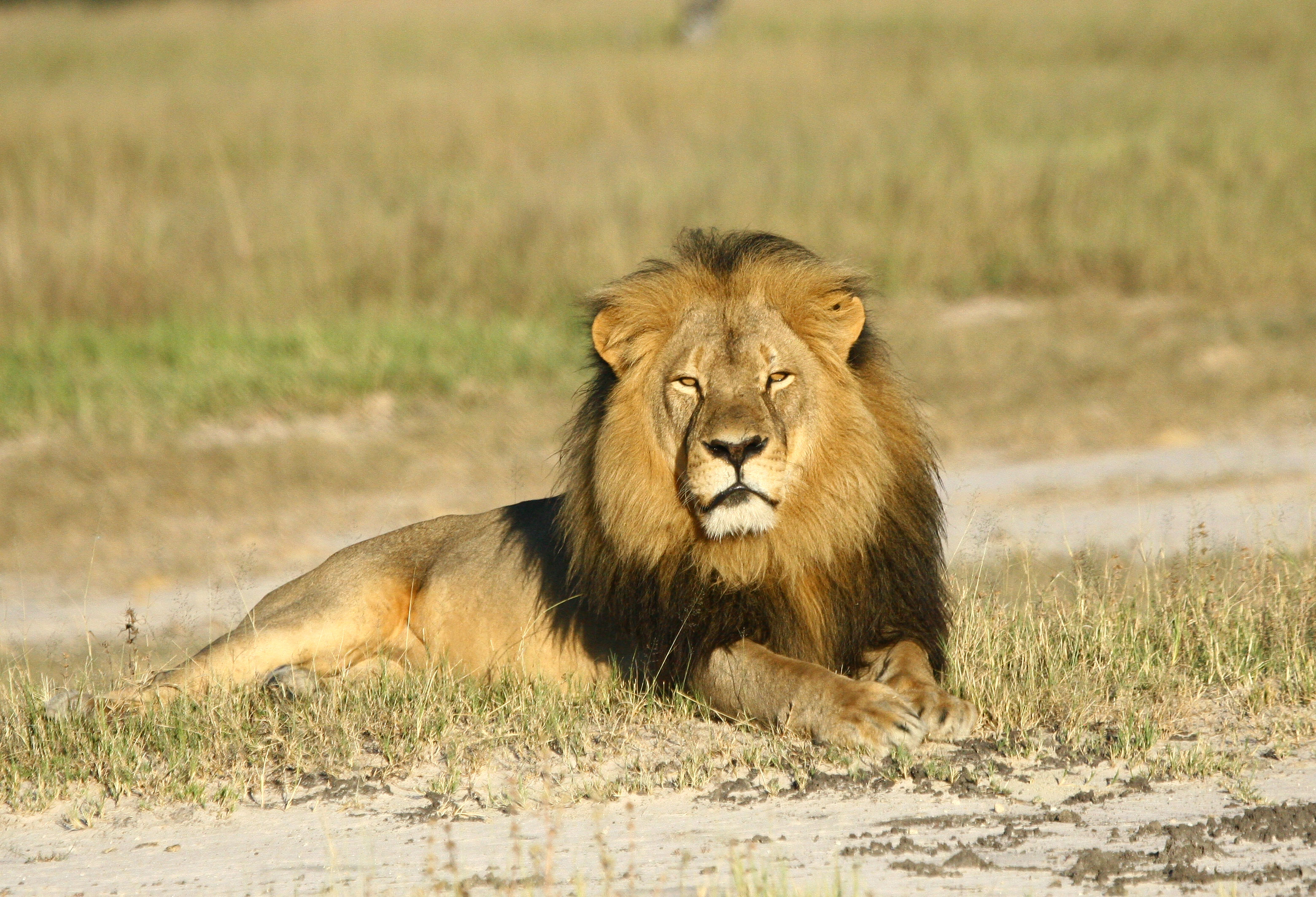 New research reveals extent of human threat to lion populations