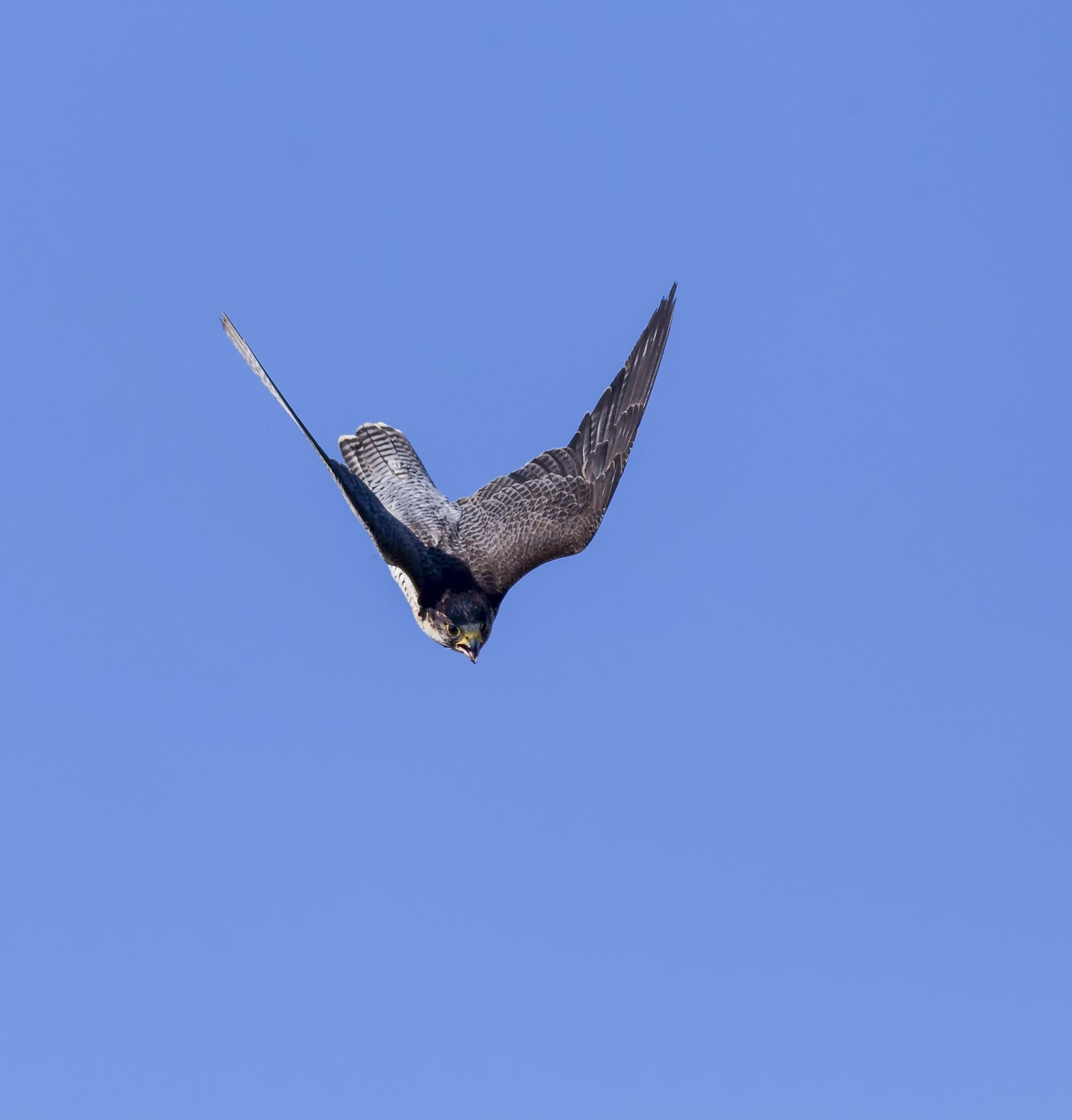 Extremely Fast Dives Help Peregrine Falcons Manoeuvre To Catch Agile Prey University Of Oxford
