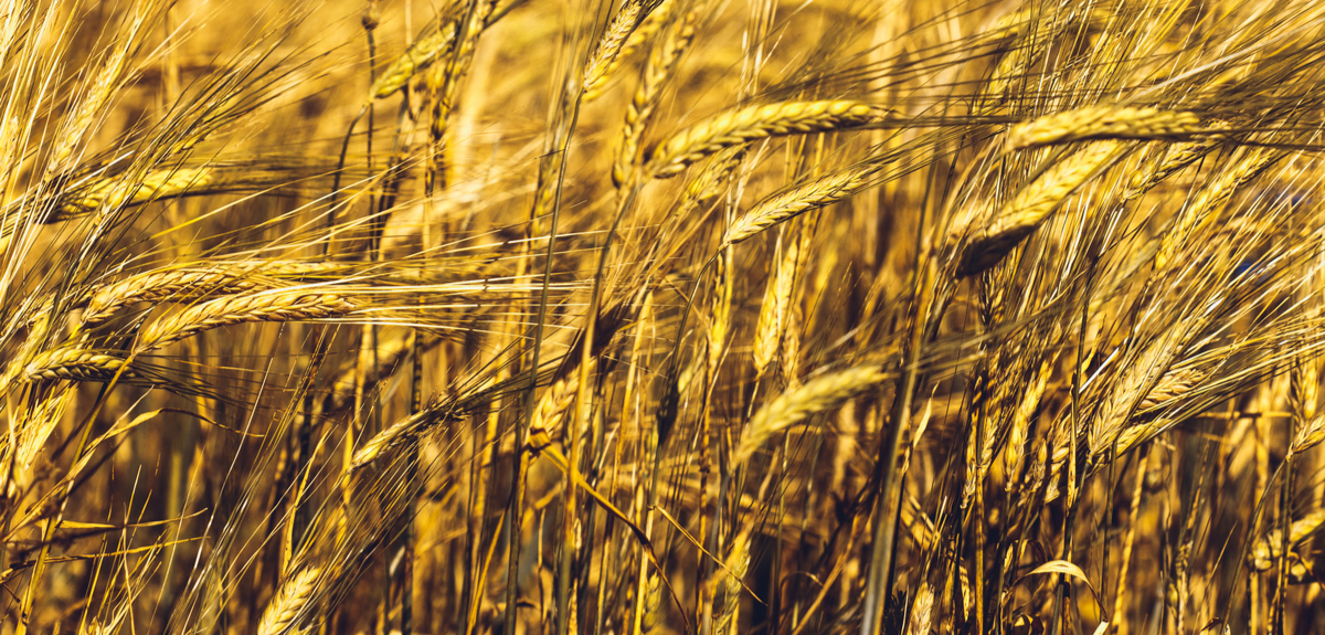 Ancient grain tells the tale of our ancestors' cities