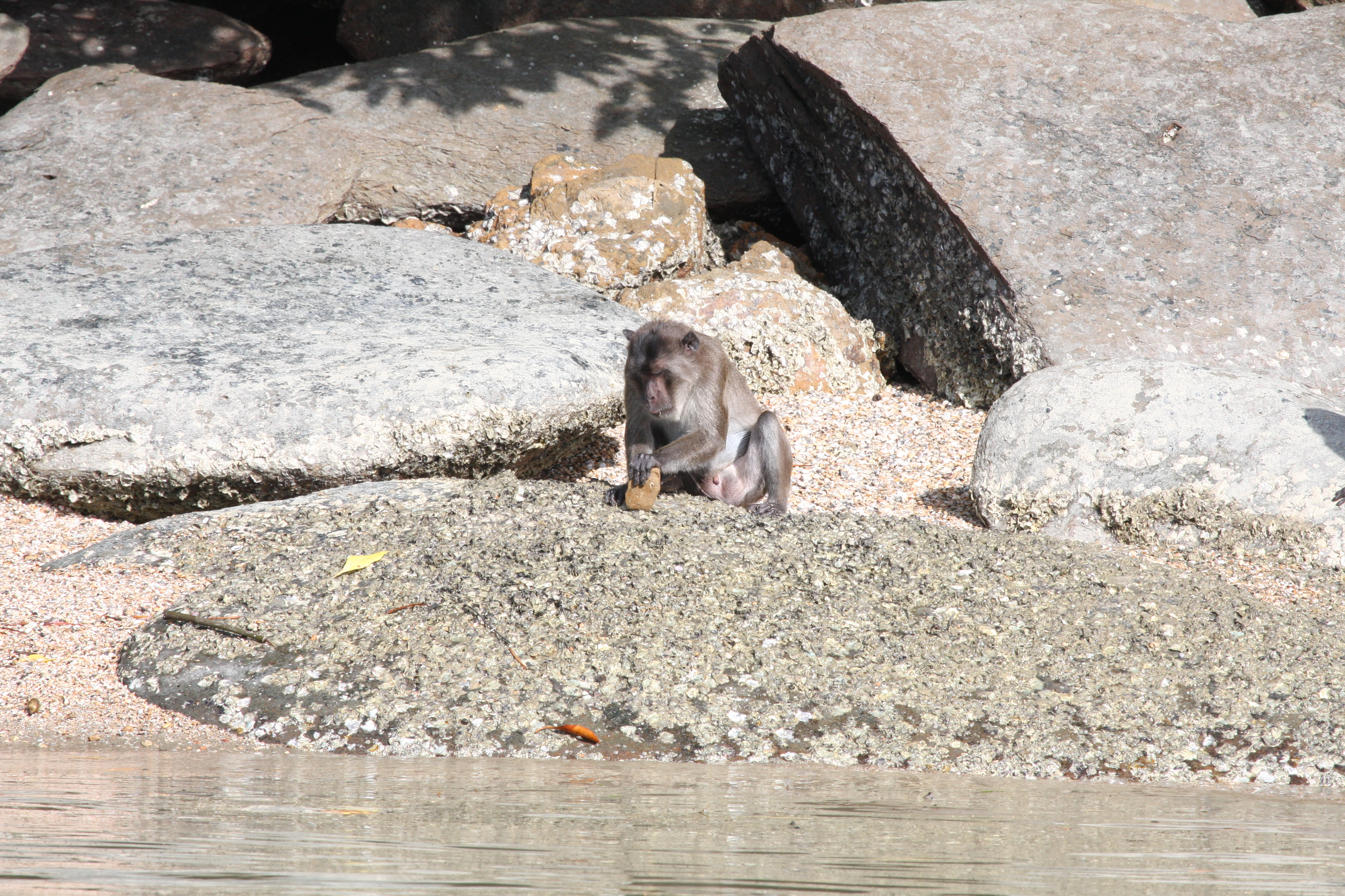 Generations of macaques used 'tools' to open their oysters and nuts
