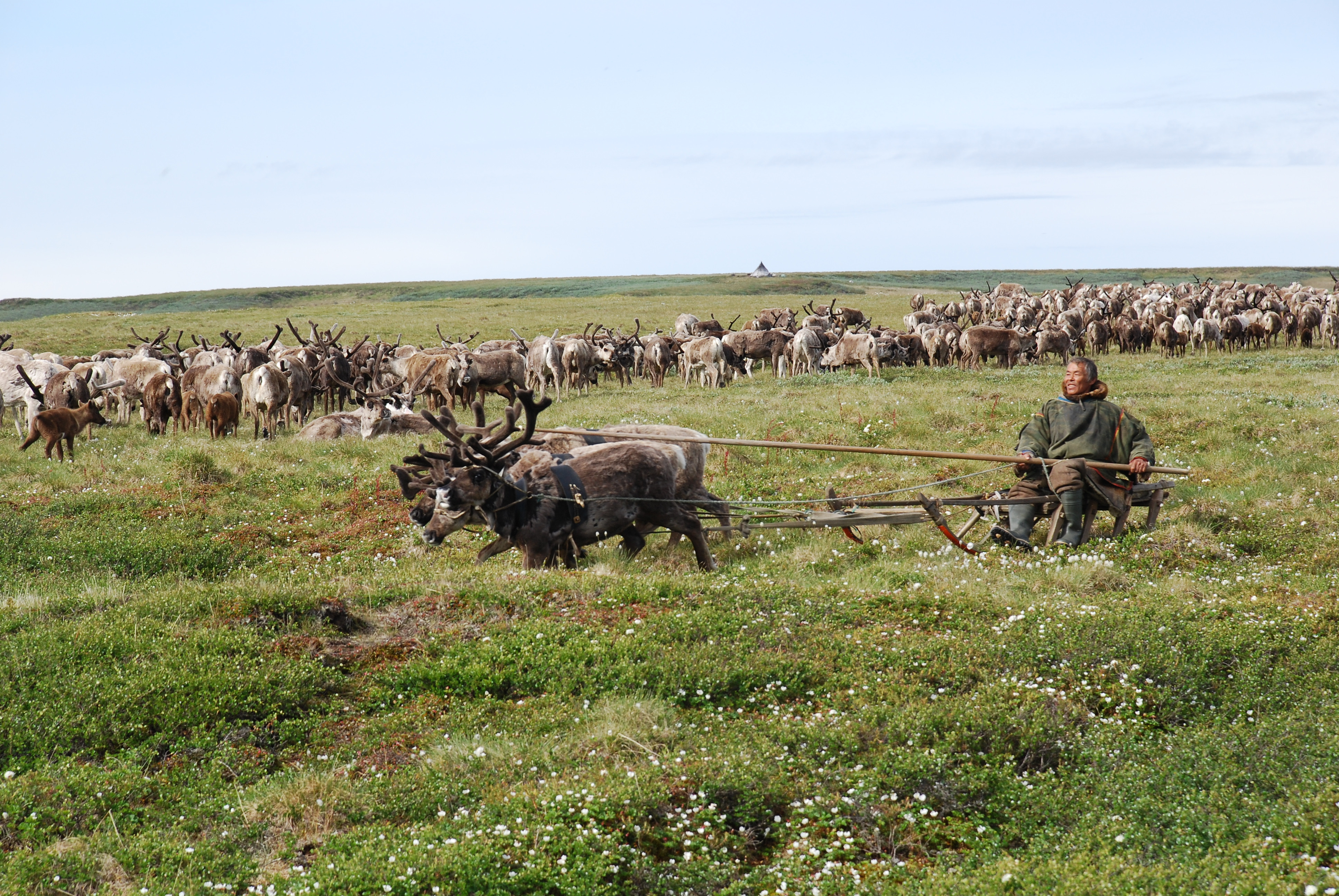 Reindeer deaths in the Arctic linked with retreating sea ice