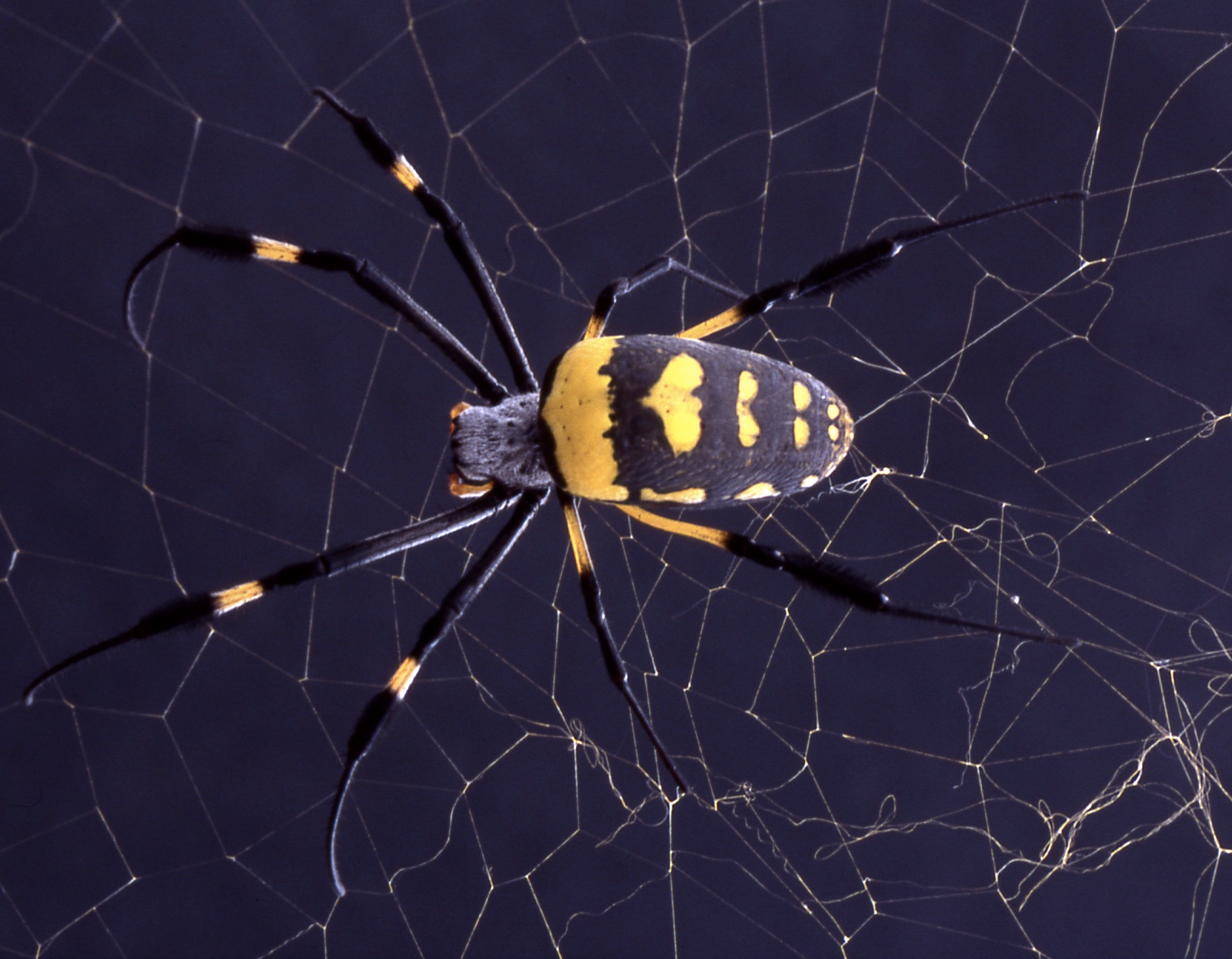 Scientists create novel 'liquid wire' material inspired by spiders' capture silk