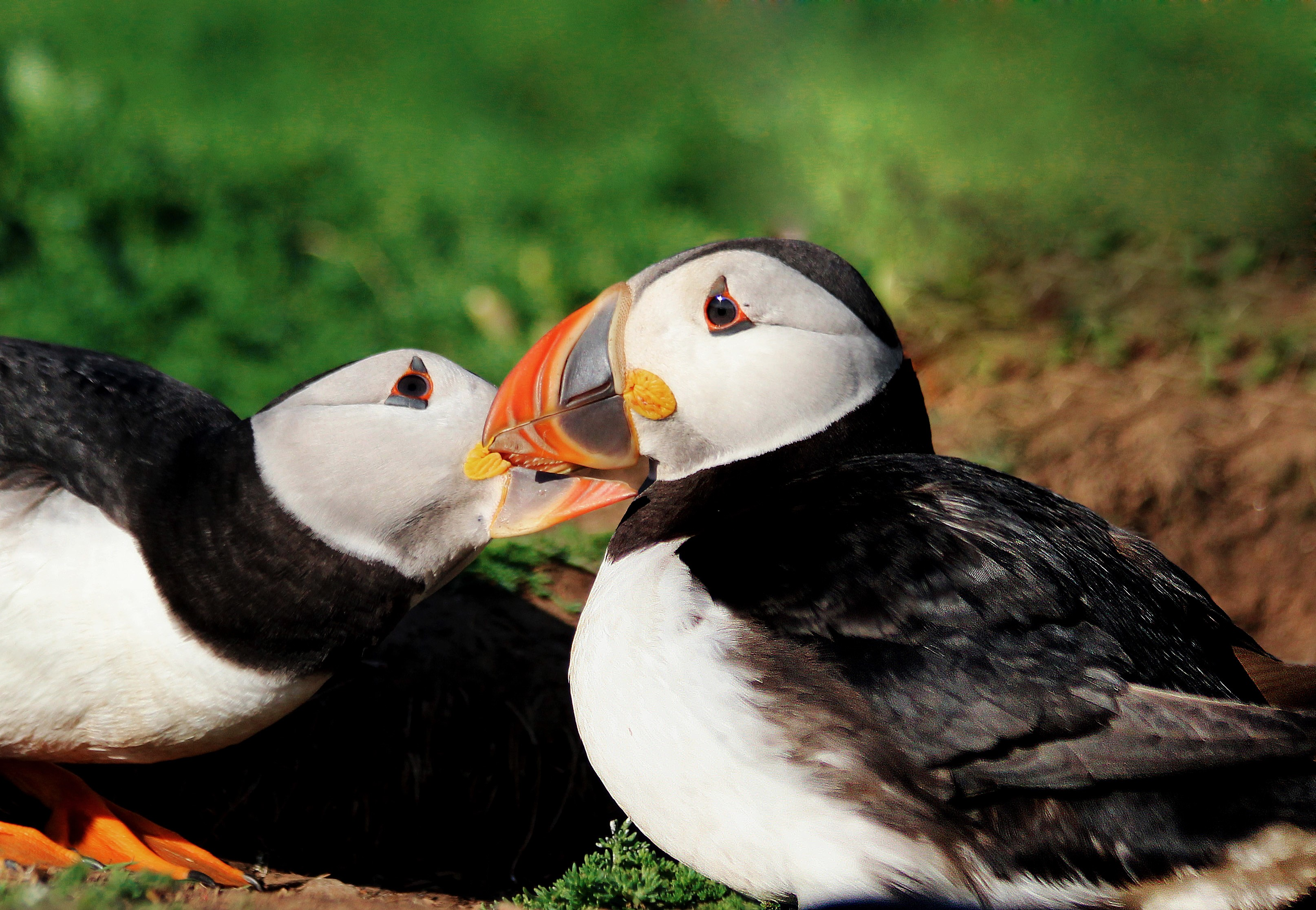 puffins that stay close to their partner during migration have