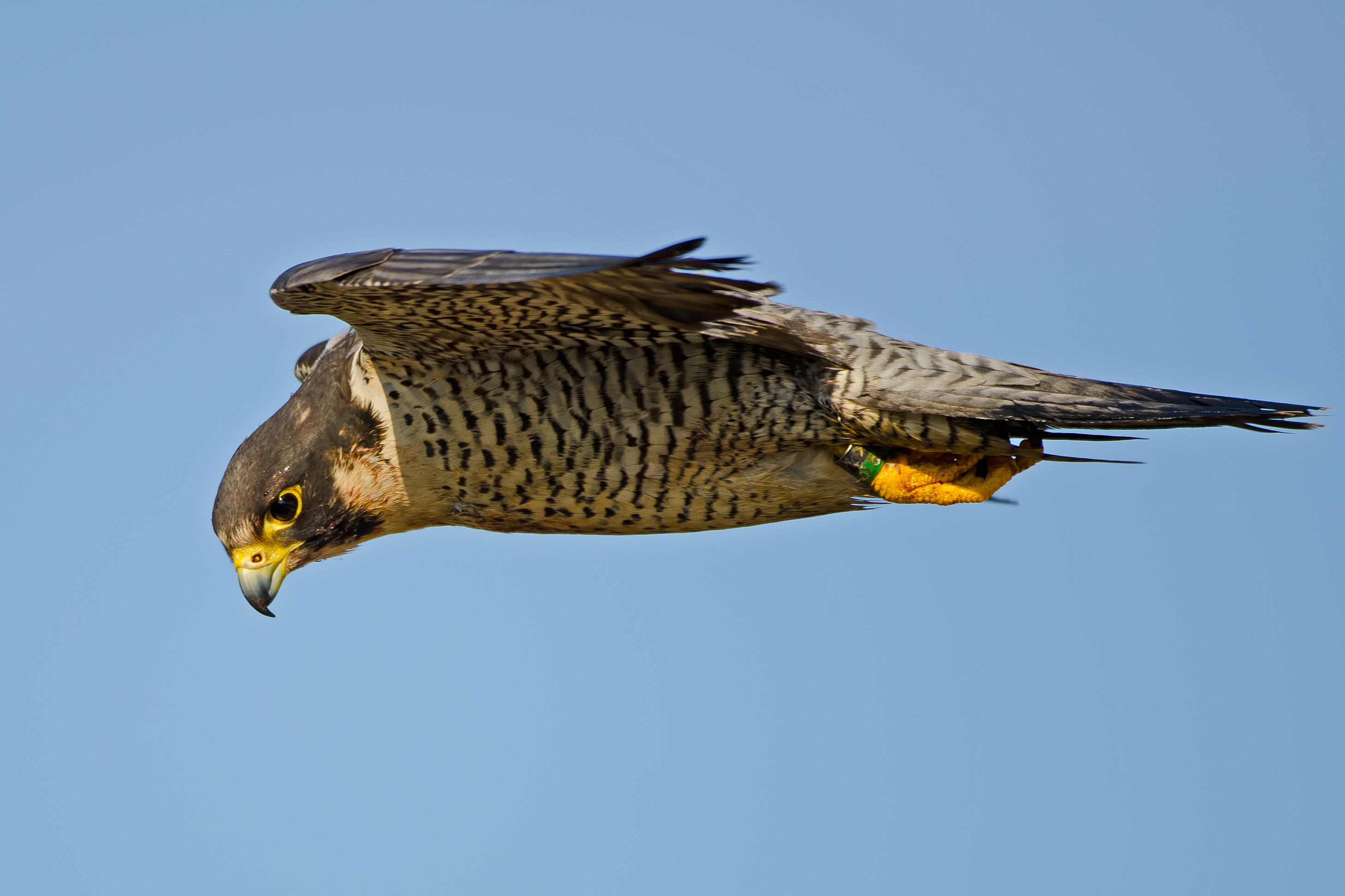 Replicating peregrine attack strategies could help down rogue drones