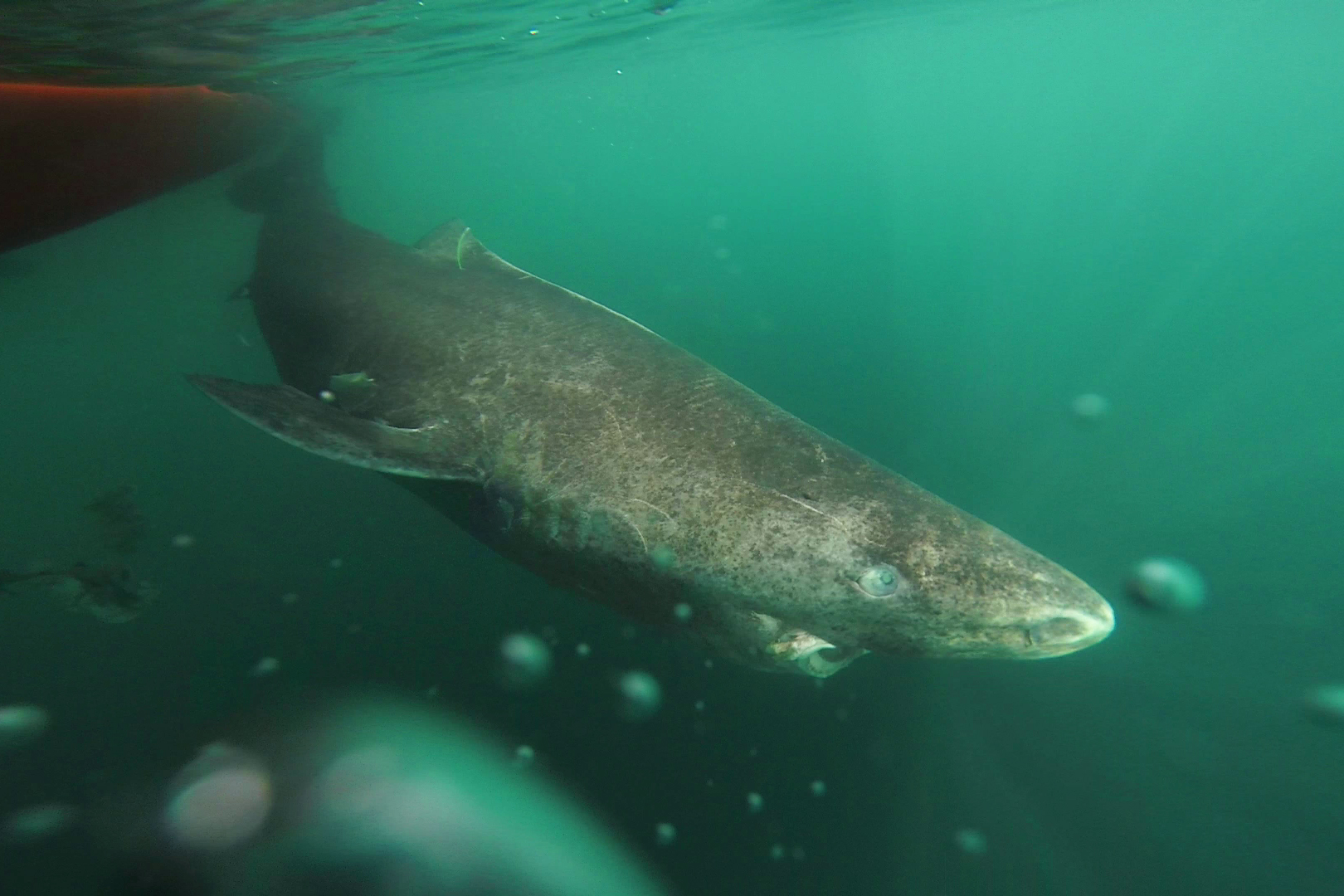 Greenland shark revealed to have longest life expectancy of all vertebrates