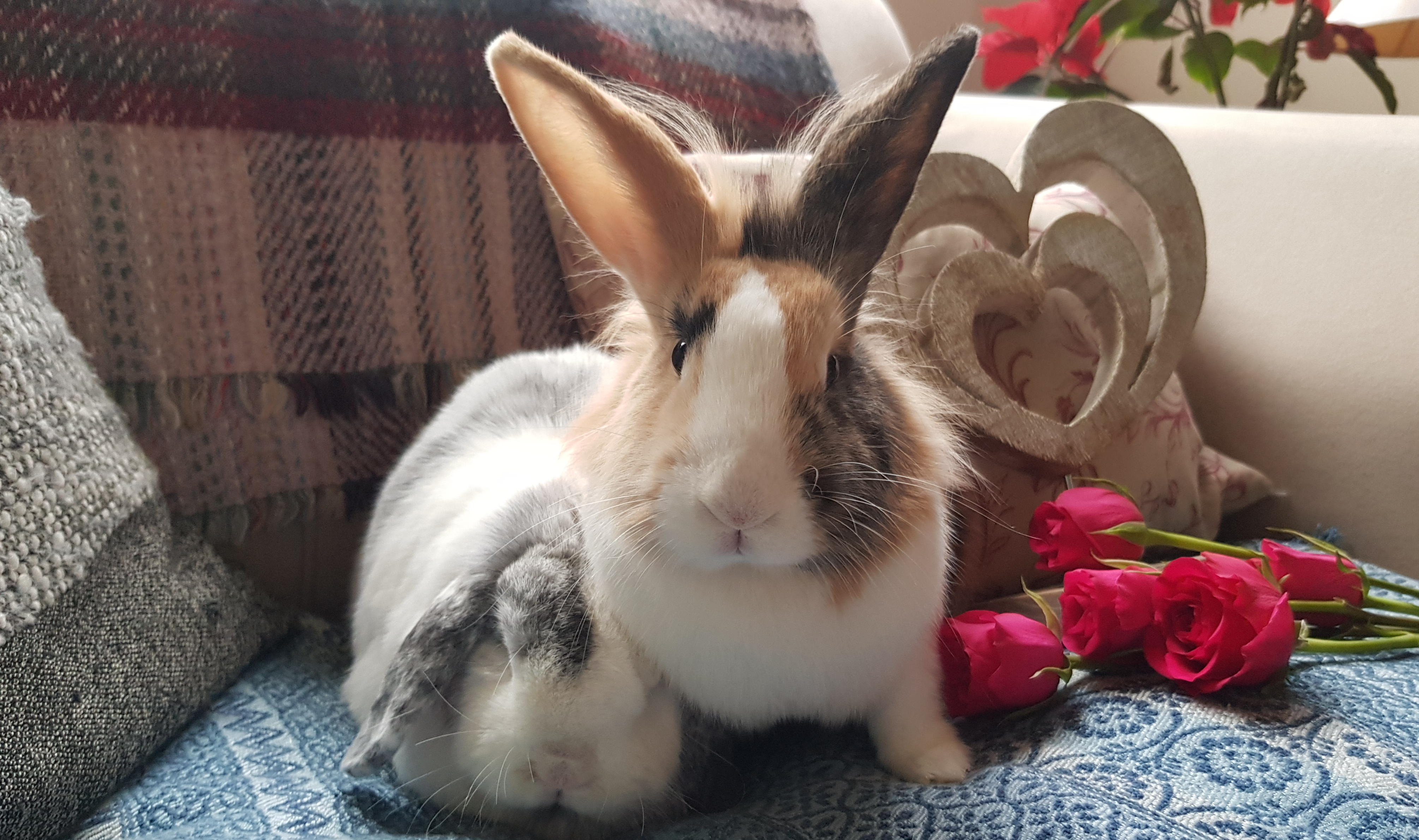 The history of domestication: a rabbit's tale