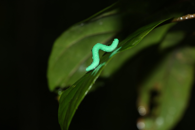 Fake caterpillar study reveals global pattern in predation