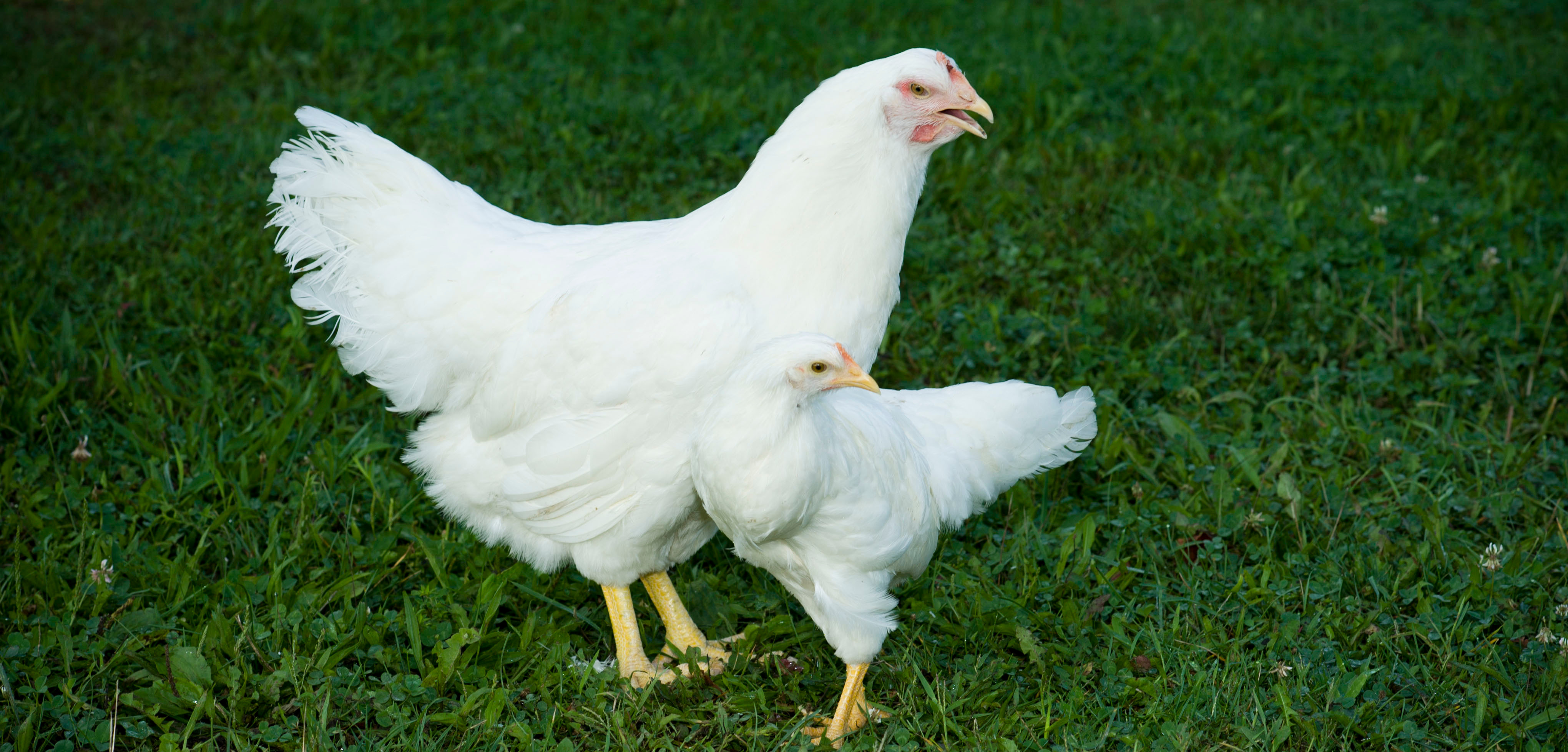 Chicken study reveals evolution can happen much faster than thought