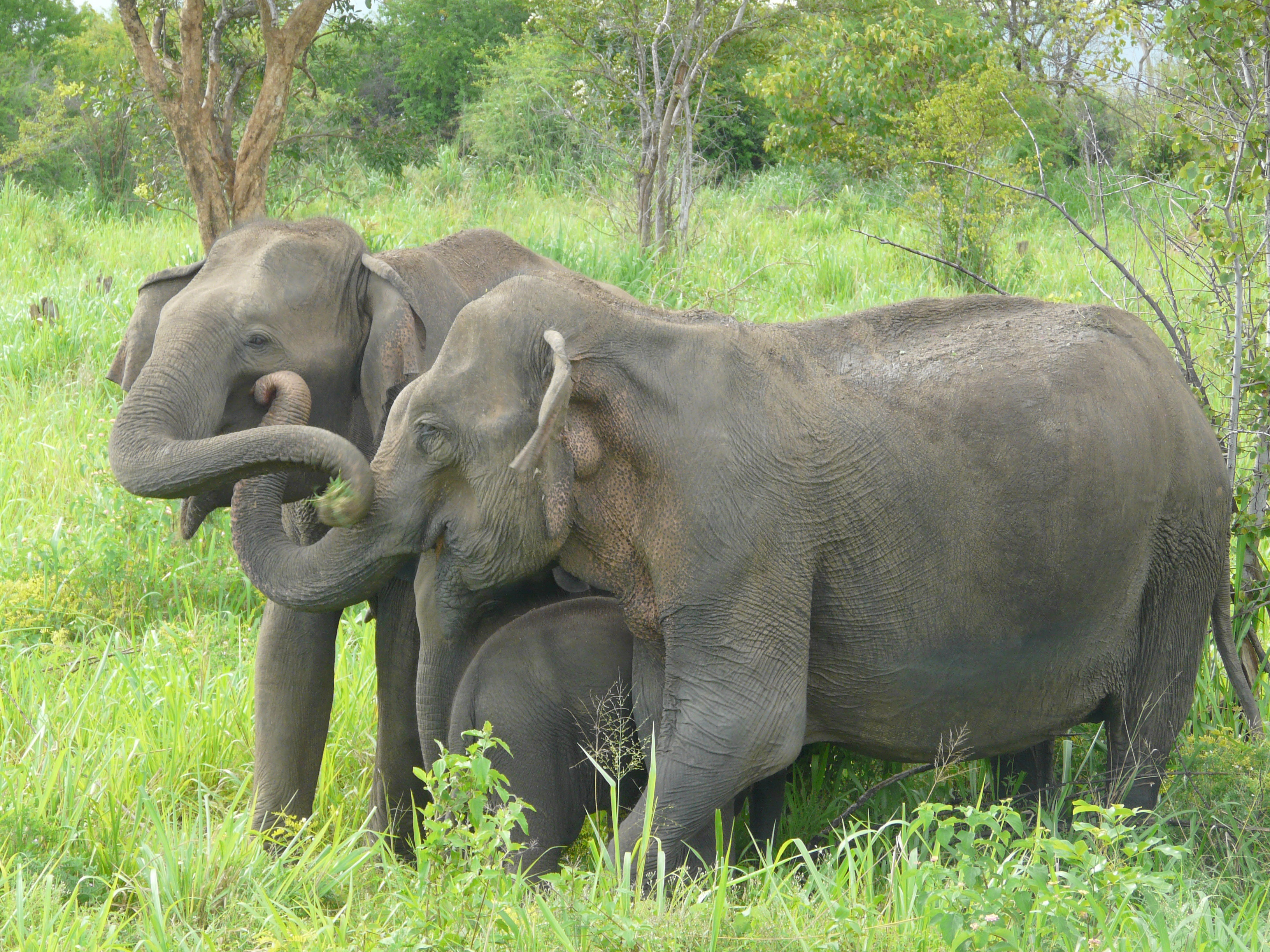 Wild Sri Lankan elephants retreat from sound of Asian honey bees