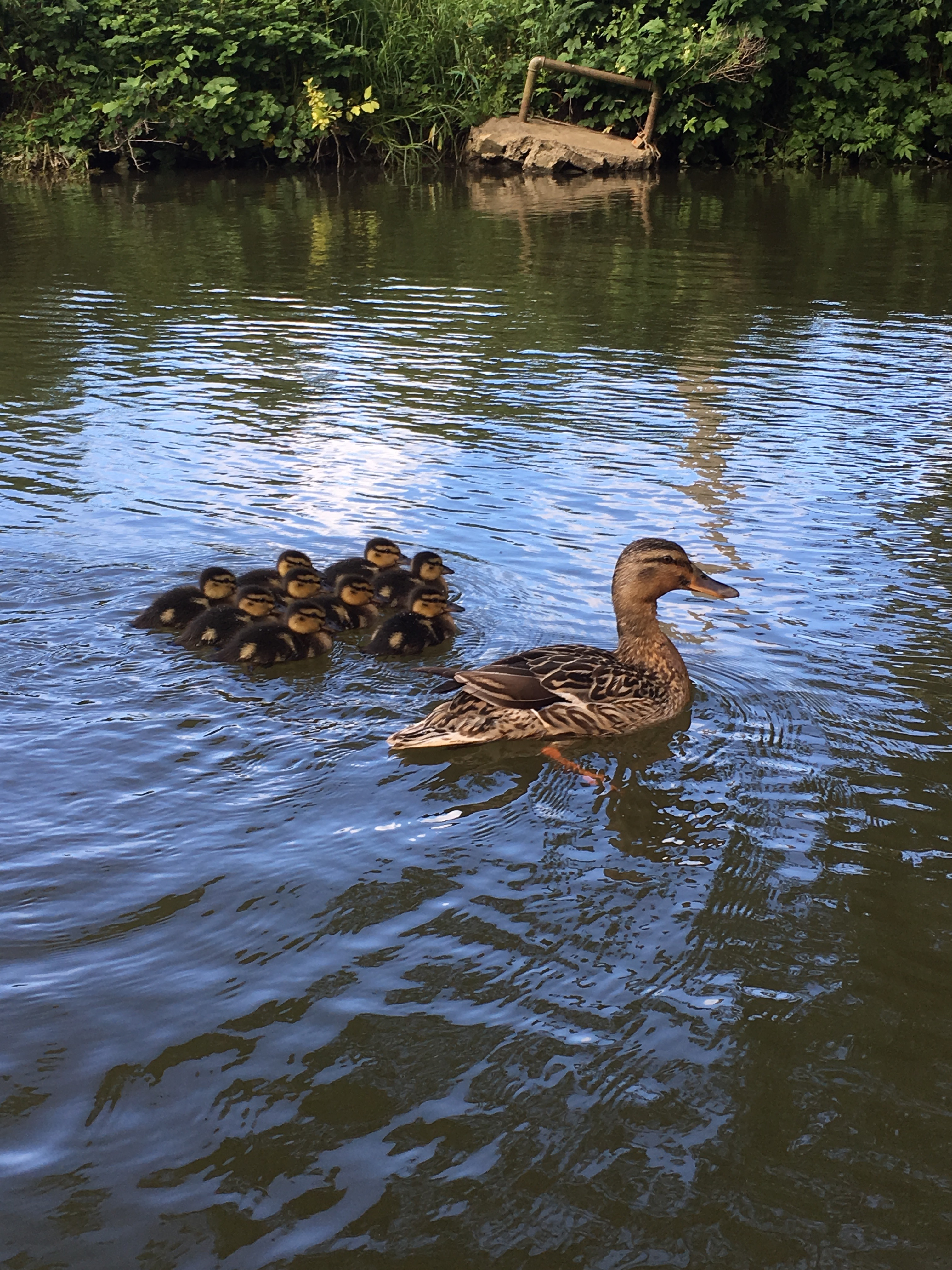 Bird-brained? Scientists show newborn ducklings can acquire notions of 'same' and 'different'