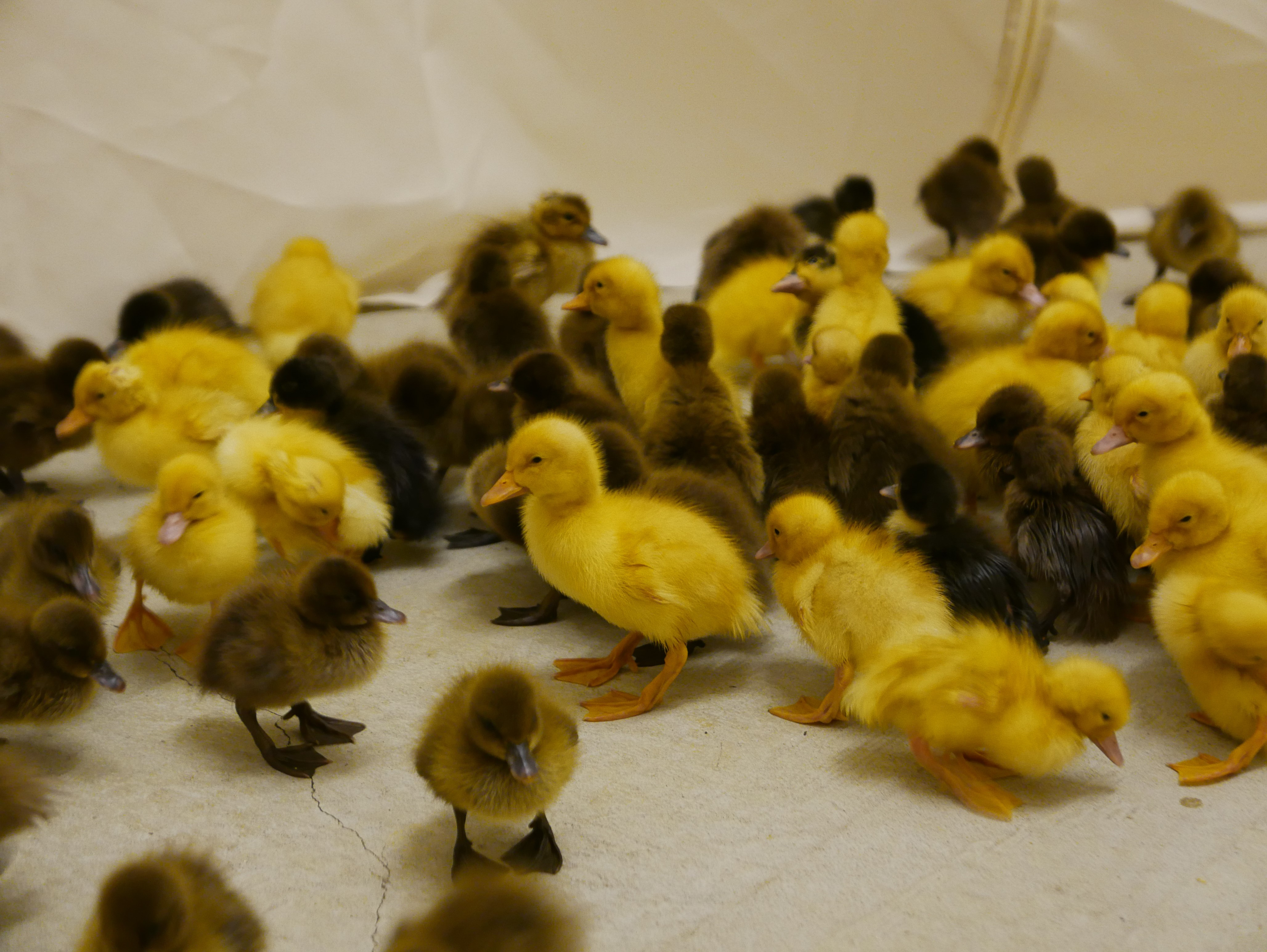 Ducklings 'maintain two separate memory banks of visual information'