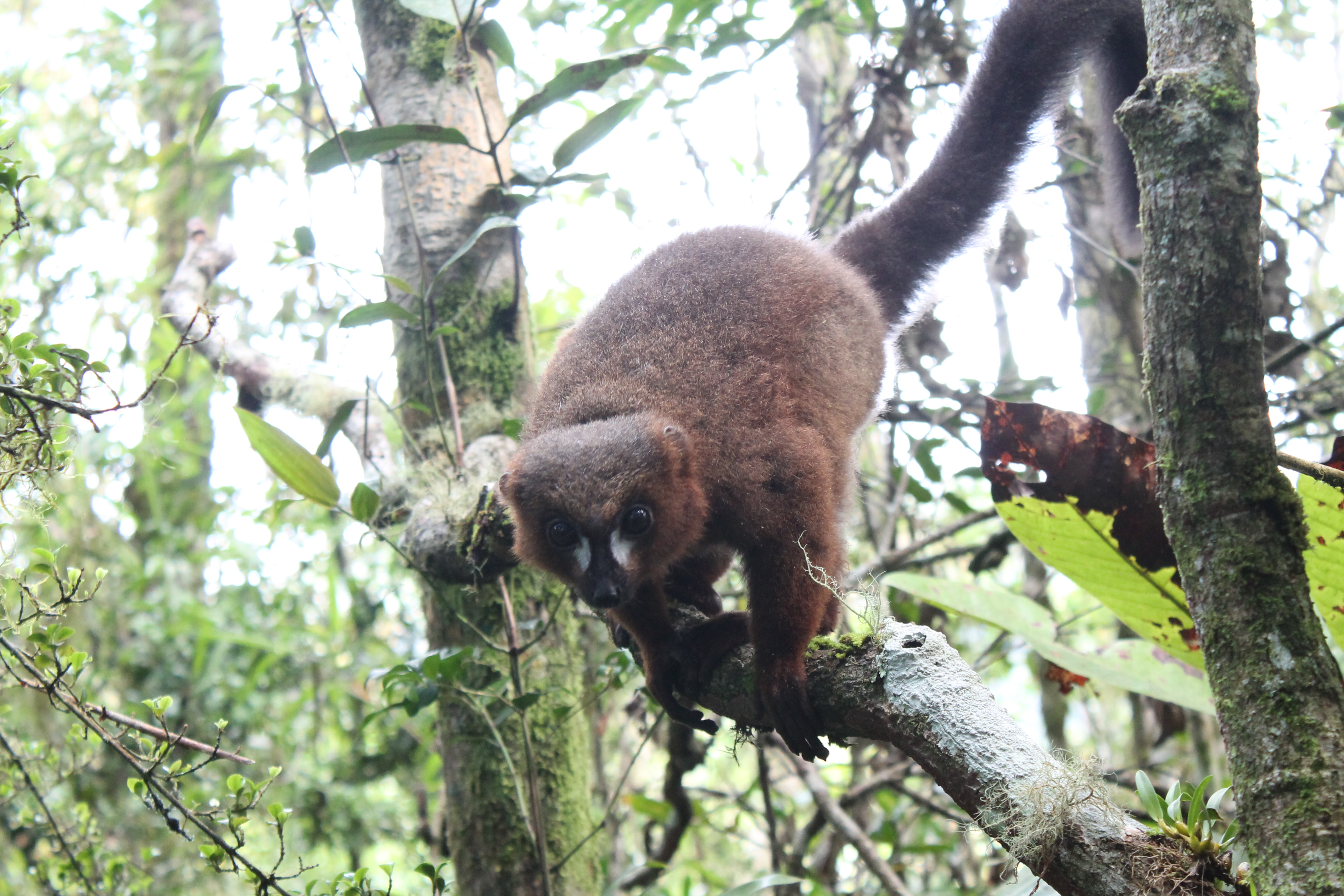 Red-bellied lemurs maintain gut health through touching and 'huddling'