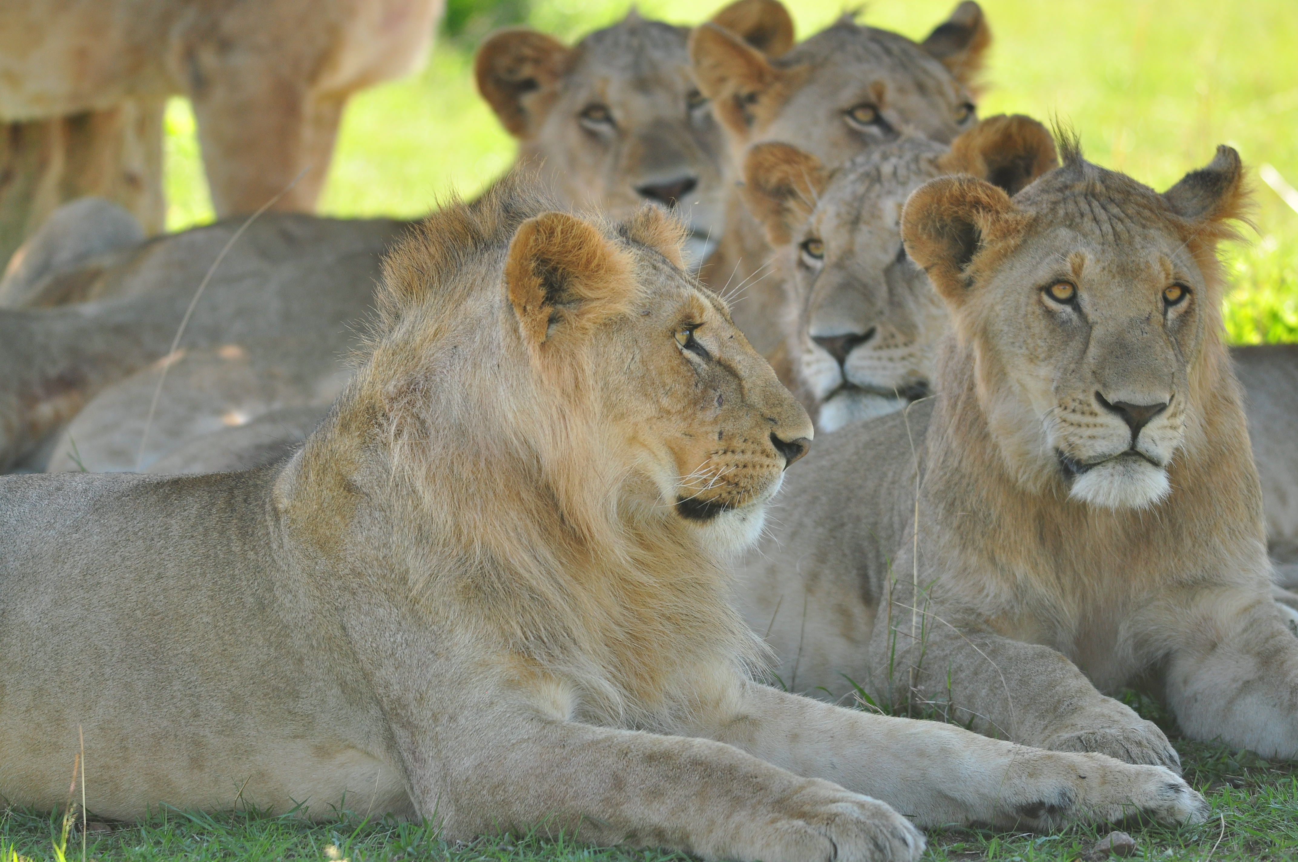 Scientists devise new method to give 'most robust' estimate of Maasai Mara lion numbers