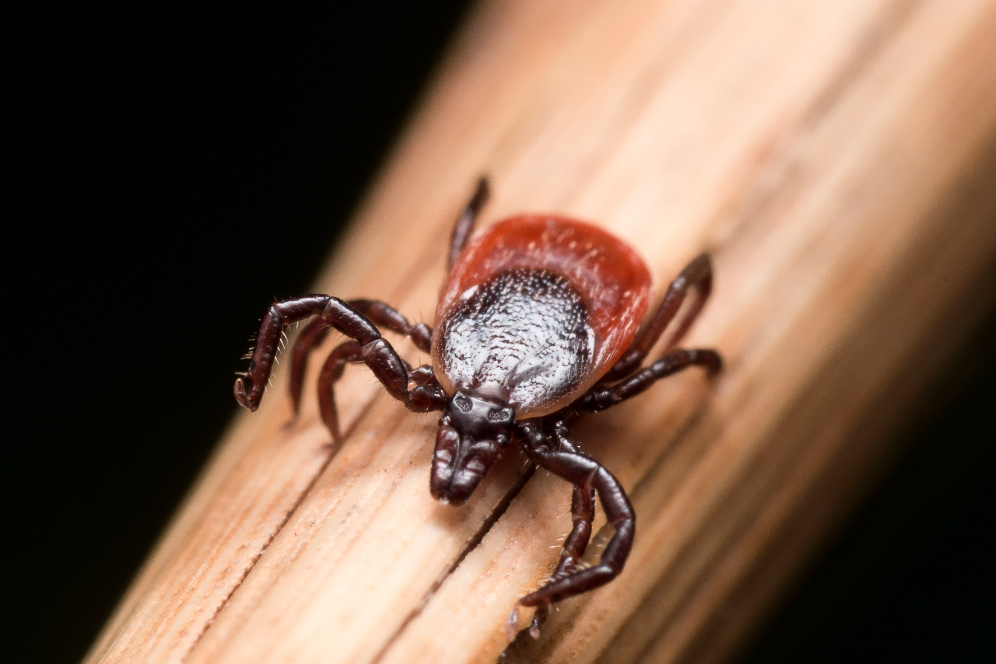 From bug to drug: tick saliva could be key to treating heart disease