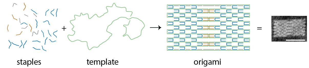 DNA origami involves pairing staple DNA sequences in the right order to match a specific region of the template strand will produce predictable bonds that then produce shapes.
