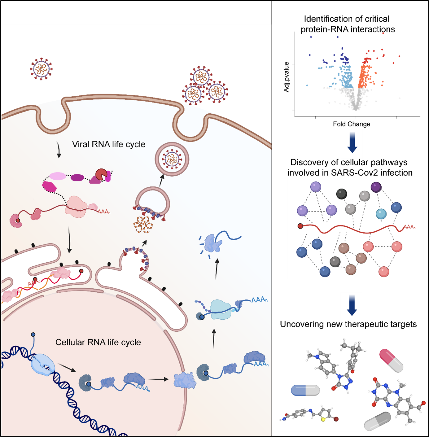 Diagram of how the RNA life cycle works