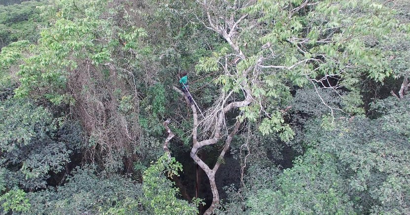 A tree climber collecting leaf samples 30 m up a rainforest tree