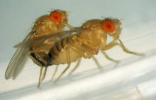 Unrelated fruit flies compete more fiercely for mates