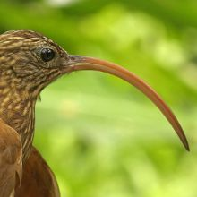 Ovenbird Campylorhamphus trochilirostris