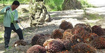 A plantation worker collects oil palm