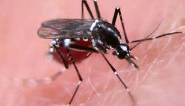 Defeating dengue with GM mosquitoes