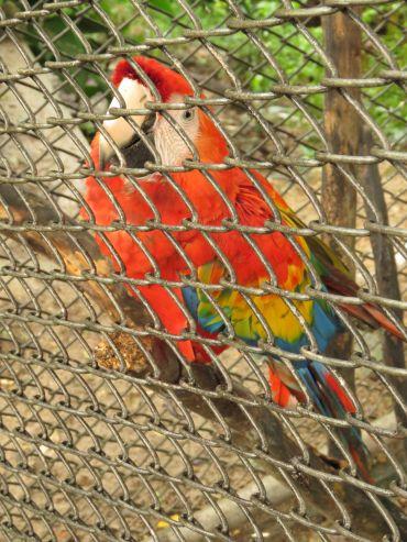 Captive Macaw
