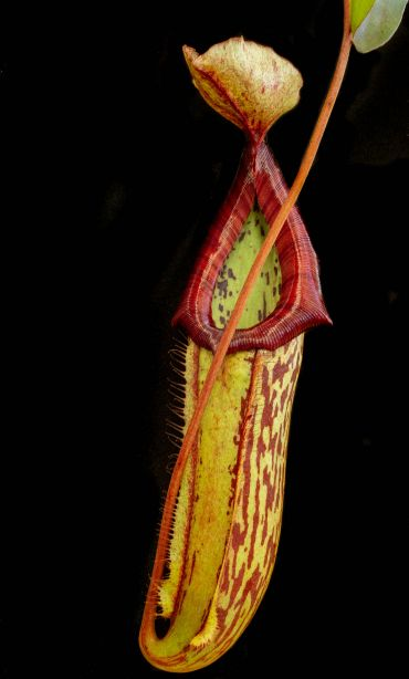 The carnivorous Nepenthes trap
