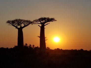 Baobabs in Madagascar,