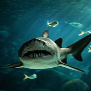 the most likely species responsible was either a tiger or white shark