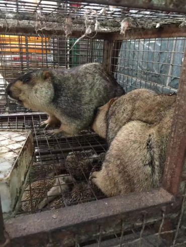 Marmots in cage above a cage containing hedgehogs, Huanan seafood market