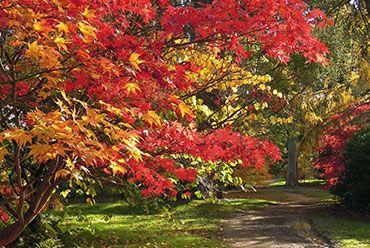 Autumnal acers, Harcourt Arboretum
