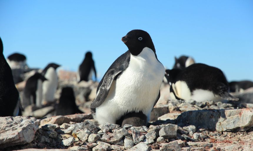 In the past the warming climate benefitted Adélie penguins but now they are in decline