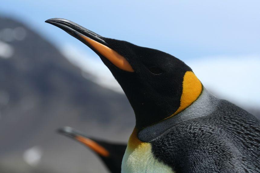 Emperor penguin close-up