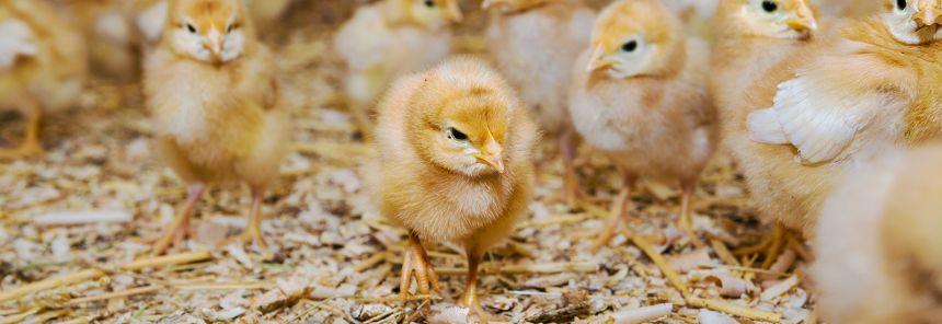 Monitoring chicken flock behaviour