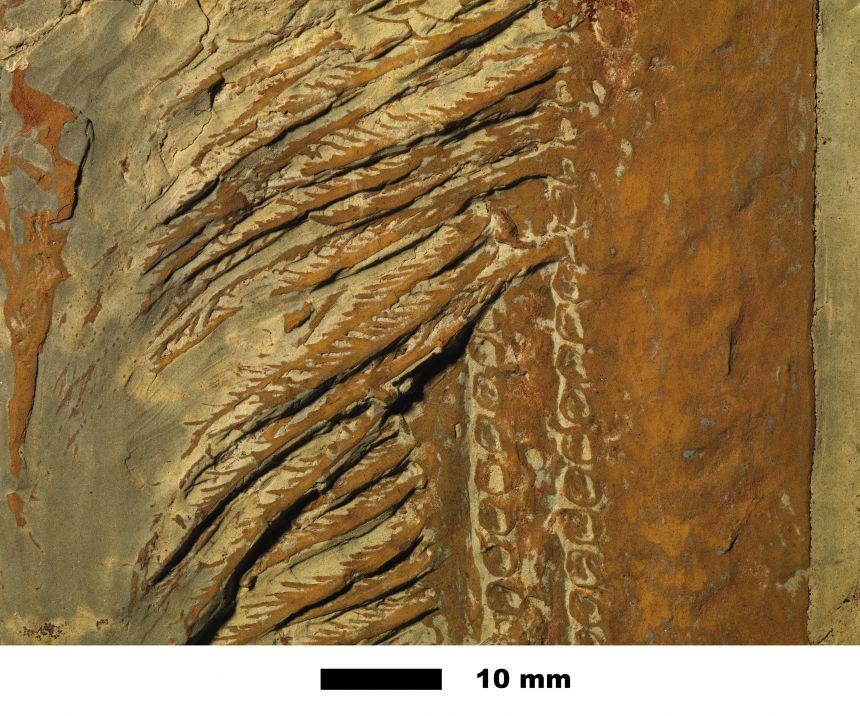 Close-up of Aegirocassis filter-feeding 'net'