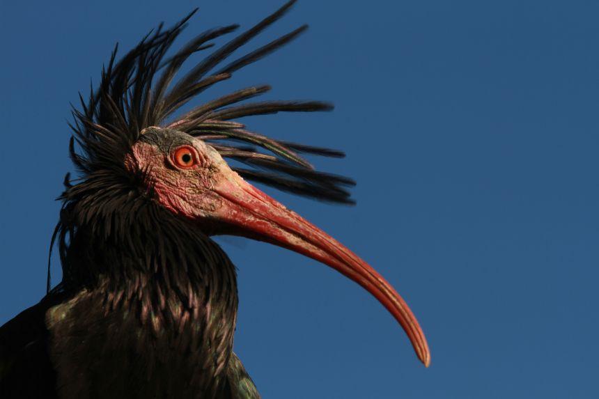 Adult ibis