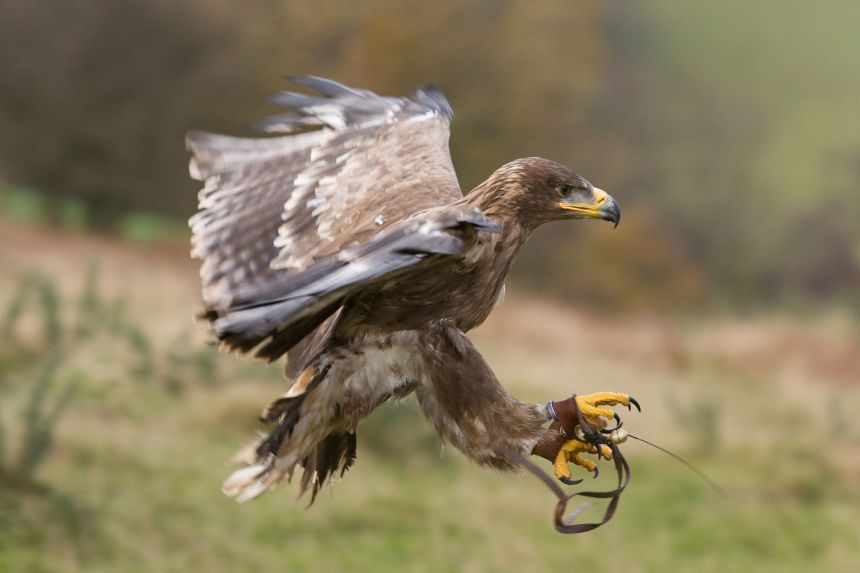 The steppe eagle 'Cossack'