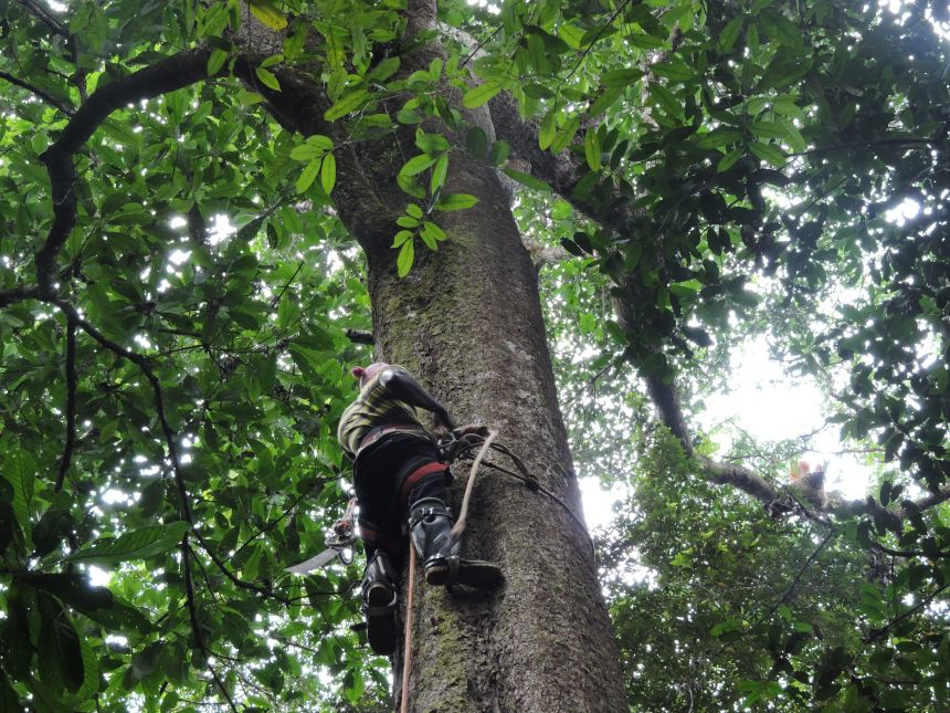 A tree climber in Ghana